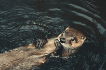 Otter On Water