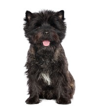 Cairn Terrier Dog On Isolated ...