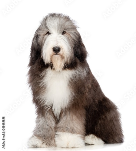 Bearded collie dog on Isolated white Background in studio Canvas Print