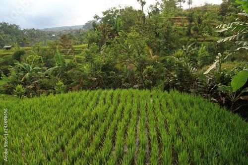 Poster Rijstvelden Terraced Rice Fields, Jatiluwih, Bali, Indonesia
