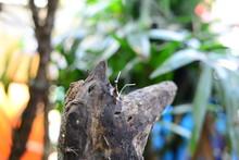 The Brown Chameleon Resting On...