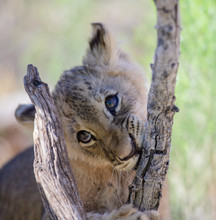 Lion Cub Chewing On A Tree Branch