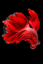 Close Up Of Red Betta Fish