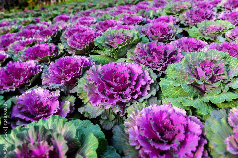 Fototapety, obrazy: Ornamental brassica cabbage flower plants.