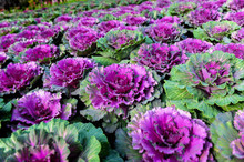 Ornamental Brassica Cabbage Flower Plants.