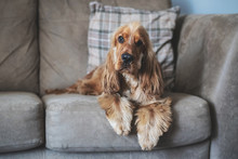 Cocker Spaniel Relaxing On Sofa