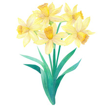 Spring Bouquet Of Bright Yellow Daffodils Or Narcissus And Leaves. Five Flowers. Hand Drawn Watercolor Illustration. Isolated On White Background.