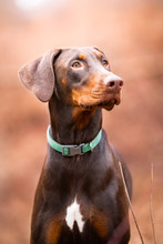 Brown Doberman Dog
