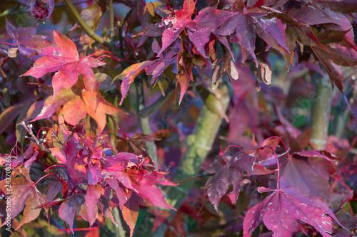 Rote Ahornblätter im Herbst