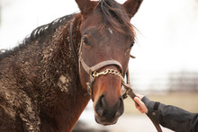 Closeup Of The Head Of A 2 Year Old Muddy, Brown Thoroughbred With A Halter And Chain.