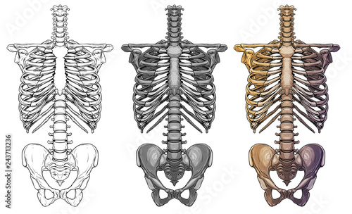 Fotografía Graphic detailed black and white colorful human skeleton thorax bones