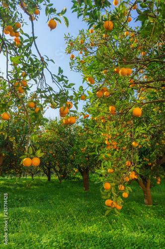 Champ d'orangers dans le sud de l'italie Tapéta, Fotótapéta
