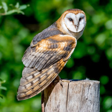 Barn Owl On A Wooden Post, Canada