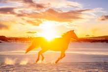 Silhouette Of An Appaloosa Horse Galloping Through The Snow At Sunset, Scotland, United Kingdom