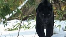Black Panther Walking Snow, India