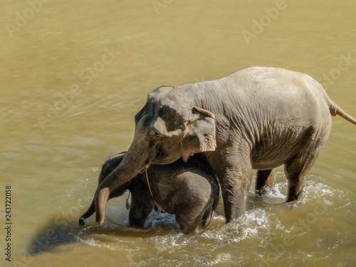 Fotografie, Obraz  mammal elephant with her baby elephant bathing and playing in the river, Mae Taman Elephant Village, Chiang Mai, northern of Thailand
