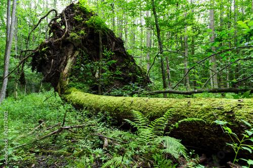 martwe-drzewo-lezace-na-ziemi-w-bialowieskim-parku-narodowym