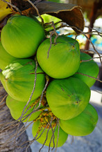 Green Young Coconuts Growing O...