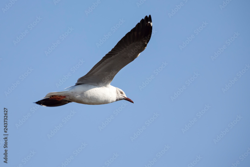 Grey headed gull flying against a grey sky in morning sun