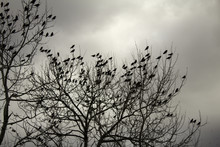 Starlings In Trees