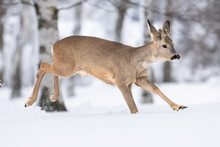 Beautiful Young Deer On A Wint...