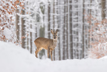 Beautiful Young Deer On A Winter Day. Everything Covered In Fresh White Snow, More Falling Down. Cute Cub In Nature. Meadow, Forest, Typical Animal.