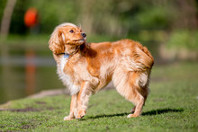 Spaniel Puppy Looking Over Its...