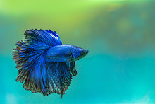 Blue Siamese Fighting Fish,Halfmoon Betta Fish In Aquarium.