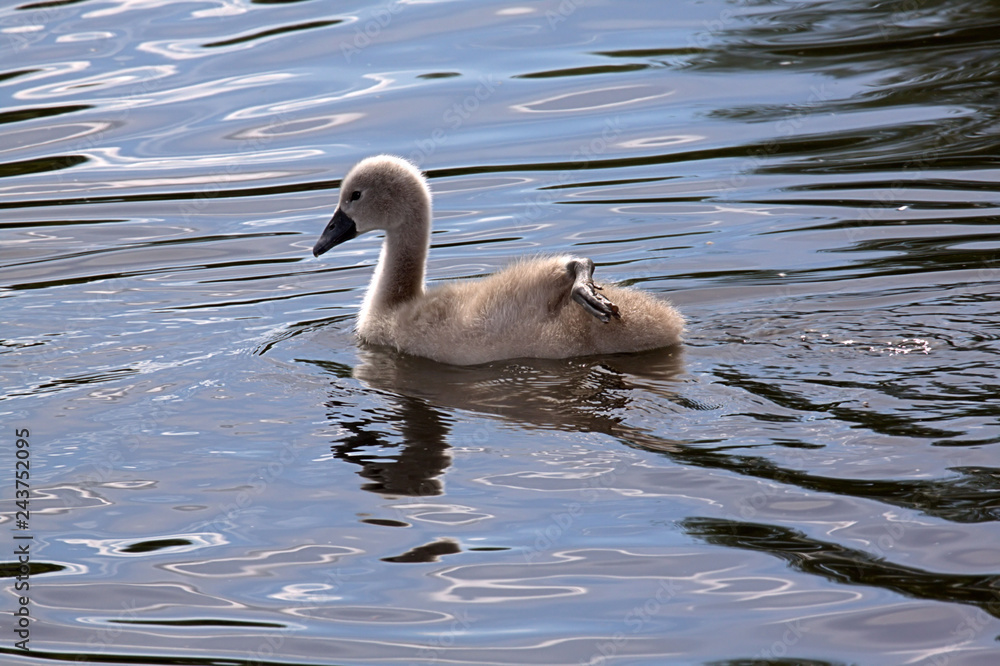 Cygnet showing off by paddling with only one foot.