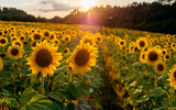 Landscape from a sunflower farm. A field of sunflowers high in the mountain. Produce environmentally friendly, natural sunflower oil.