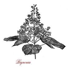 Bignonia Capreolata, Crossvine...