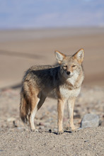Lone Coyote In Death Valley, C...