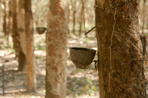 Fotografía  Rubber tree and plastic bowl filled with latex in rubber plantation
