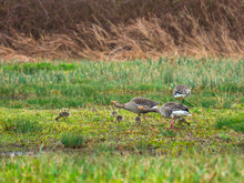 Greylag Geese Parents And Goslings ( Anser Anser )