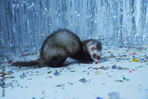 Fotografija  The ferret plays on a festive background and hides in the hood