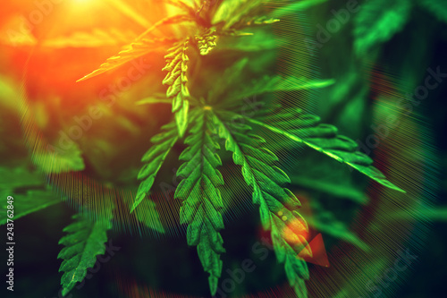 marijuana  background at sunset. bush cannabis. Canvas Print