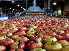 Apples Floating In Water In Packing Warehouse Being Washed