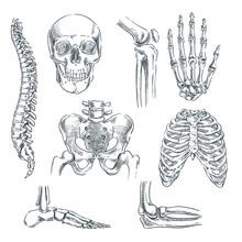 Human Skeleton, Bones And Join...