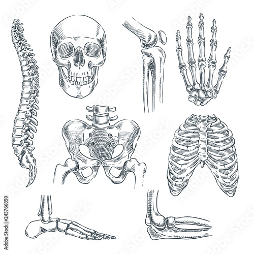 Fototapeta Human skeleton, bones and joints