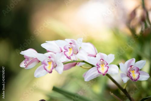 Fotografie, Obraz  Cymbidium orchid, Orissa Christmas tree, Orchid family