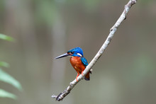 Blue Eared Kingfisher (alcedo ...