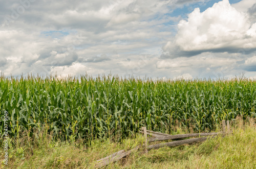 Foto Cornfield and fence