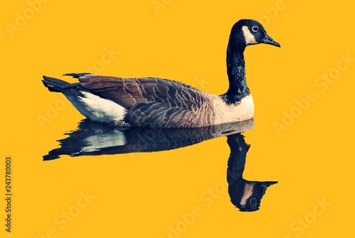 Bird, Canadian Geese, floating with reflection in water. Background is neon bright orange