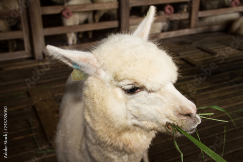 Foto auf AluDibond Lama alpaca sheep in the stall