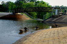 Canada Geese Bathing By The Dam And Footbridge At Lake Johnson Park In Raleigh North Carolina.