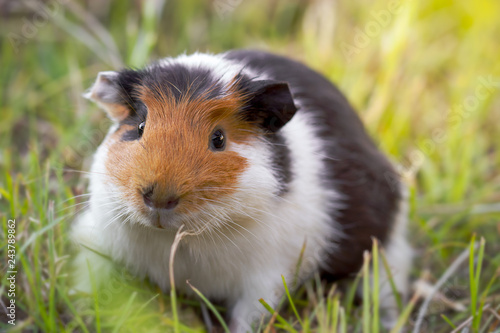 Fotografía  Beautiful guinea pig is gnawing grass in the pasture and morning sunlight