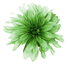 Vintage Green  Dahlia  Flower White  Background Isolated  With Clipping Path. Closeup. For Design. Nature.