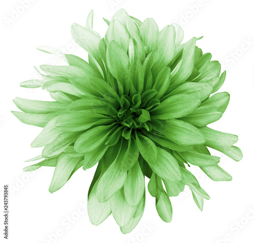 Poster Fleuriste Vintage green dahlia flower white background isolated with clipping path. Closeup. For design. Nature.