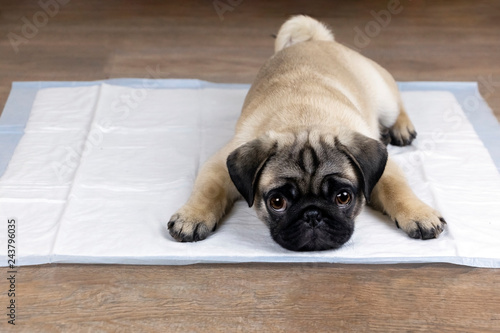 Puppy on absorbent litter,   accustom the dog to the toilet Wallpaper Mural