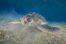 Green Sea Turtle Eating Grass In Sea